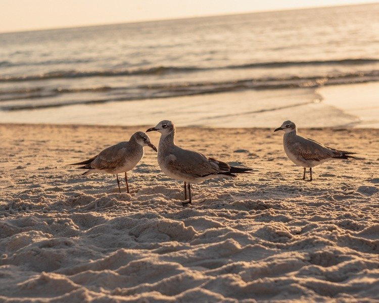 pelicans hanging out on the beach during sunset
