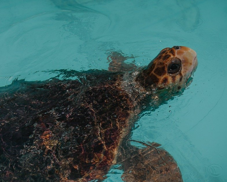 Sea turtles swimming in the water at the sea turtle hospital I stop heading back to Miami from Key West.