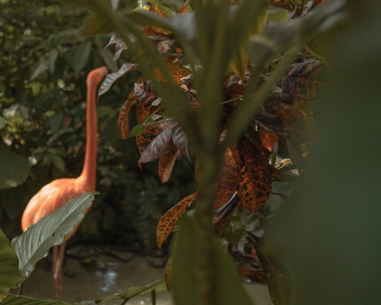 A flamingo at the butterfly gardens in Key West.
