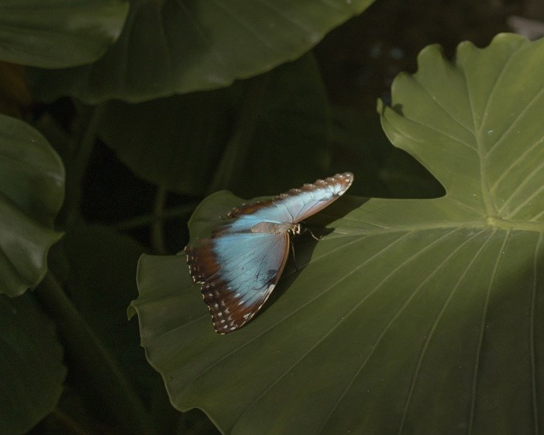 Butterfly on a leave at the butterfly gardens in Key West emergency spa to visit on a road trip from Miami to Key West.